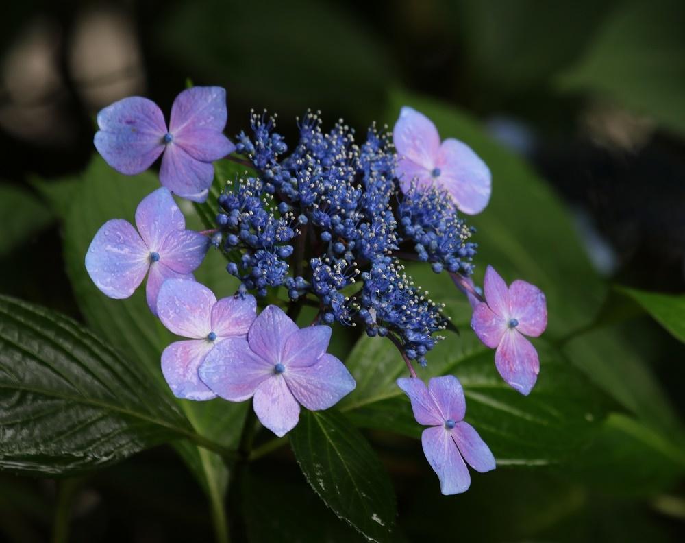 梅雨に似合う花、、アジサイ、_f0305401_16295340.jpg