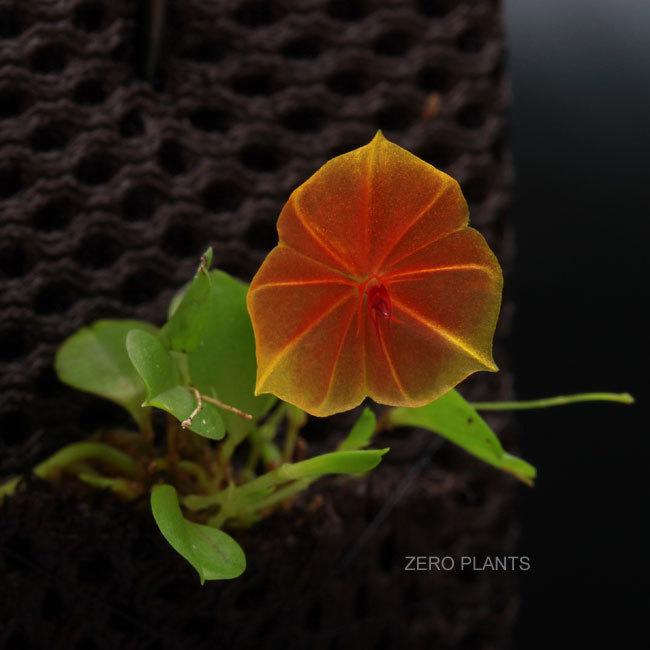 南米からきた可愛い着生蘭レパンテスとハイグロロンと植えれる君_d0376039_16113395.jpg