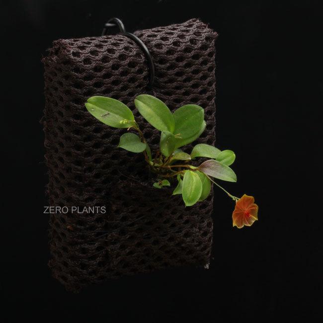 南米からきた可愛い着生蘭レパンテスとハイグロロンと植えれる君_d0376039_16180090.jpg