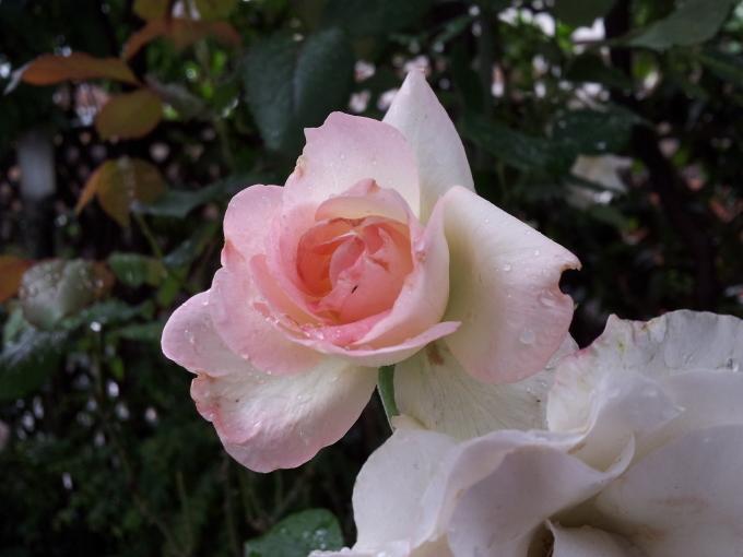 春はバラの美しい季節!_c0054646_13564542.jpg