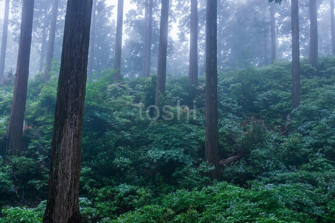 コアジサイ 東吉野2_c0350572_20011431.jpg
