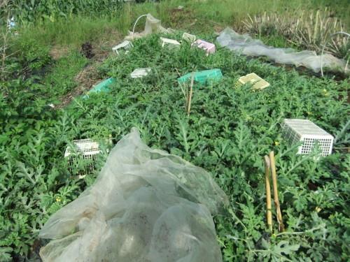 トウモロコシ..初収穫_b0137932_17455404.jpg