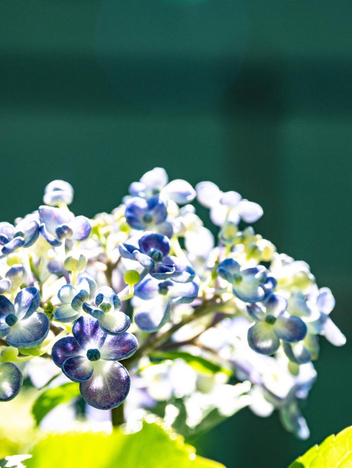 キラキラな紫陽花_d0214541_21492839.jpg