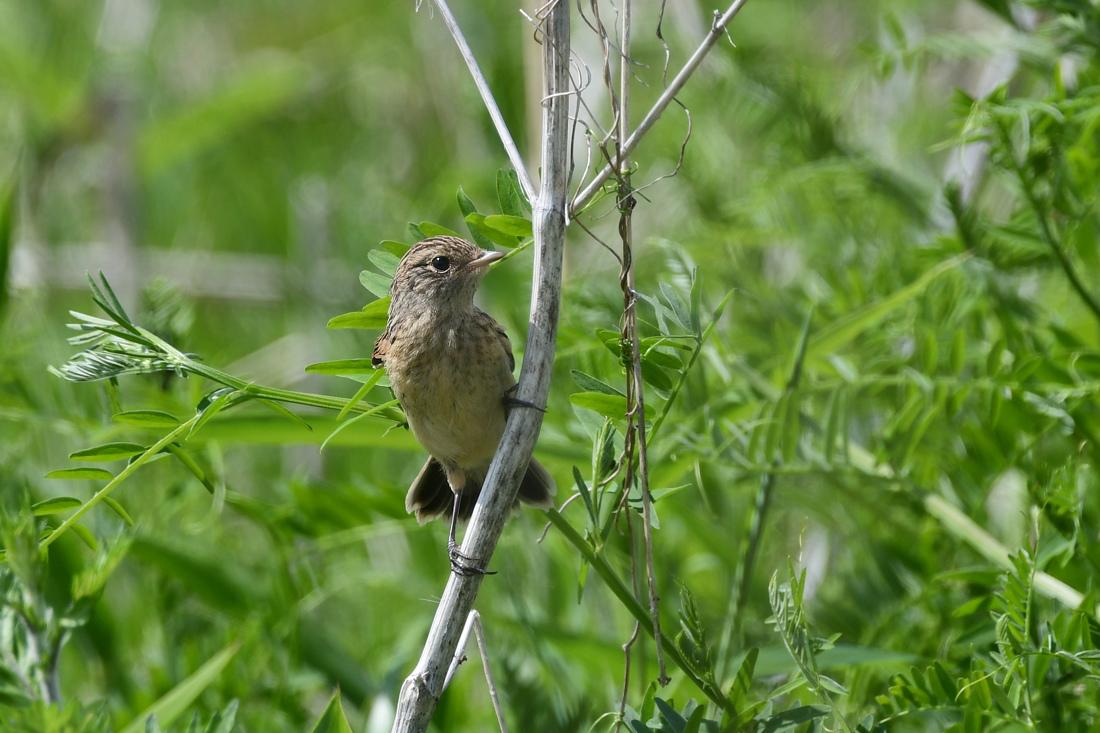 幼鳥さんたち ノビタキ クロツグミ_f0053272_23143566.jpg