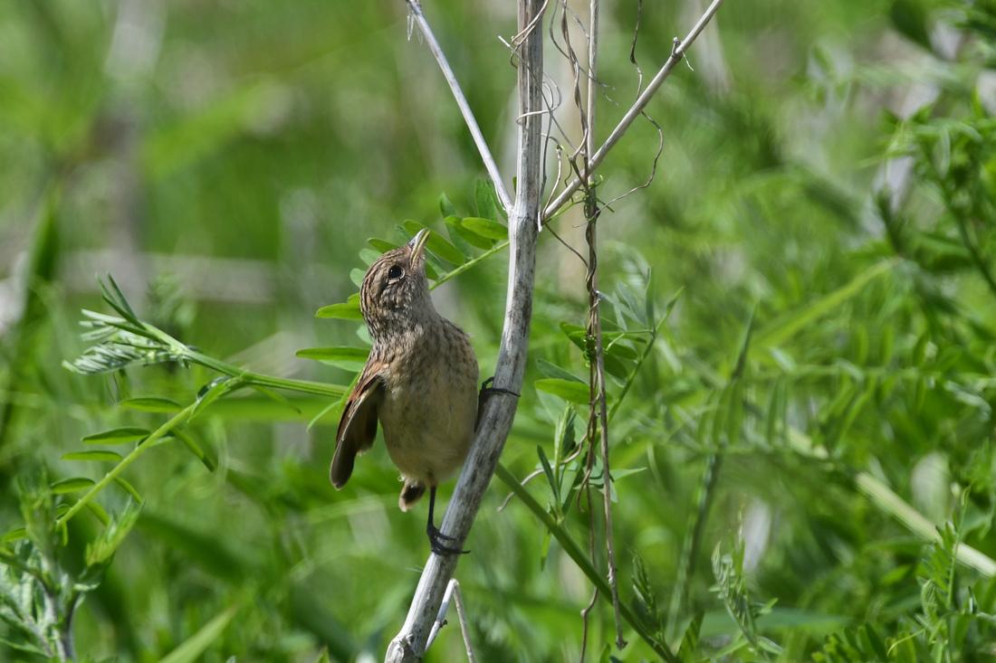 幼鳥さんたち ノビタキ クロツグミ_f0053272_23144996.jpg