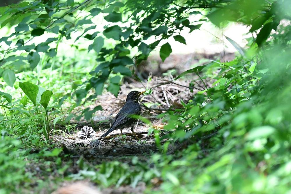 幼鳥さんたち ノビタキ クロツグミ_f0053272_23174491.jpg