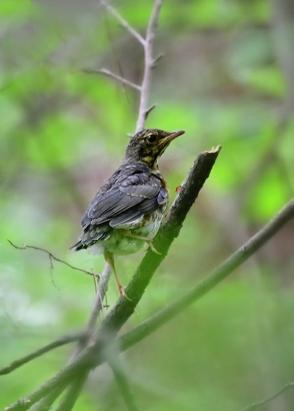 幼鳥さんたち ノビタキ クロツグミ_f0053272_23180261.jpg