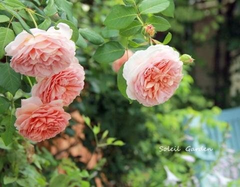 ◆2番花・・アブラハムダービー_e0154682_22420011.jpg