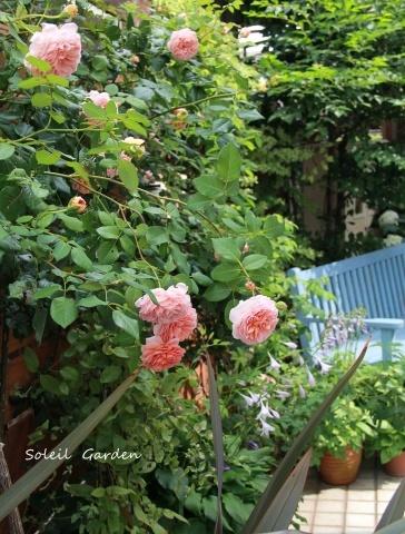 ◆2番花・・アブラハムダービー_e0154682_22430037.jpg