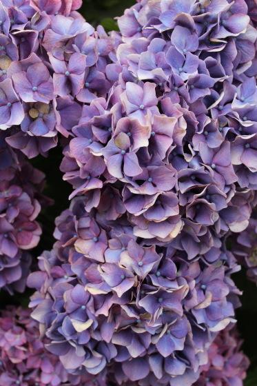 太閤山ランドの紫陽花_b0132338_16195039.jpeg