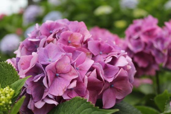 太閤山ランドの紫陽花_b0132338_16200938.jpeg