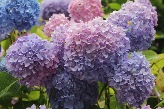 太閤山ランドの紫陽花_b0132338_16201871.jpeg