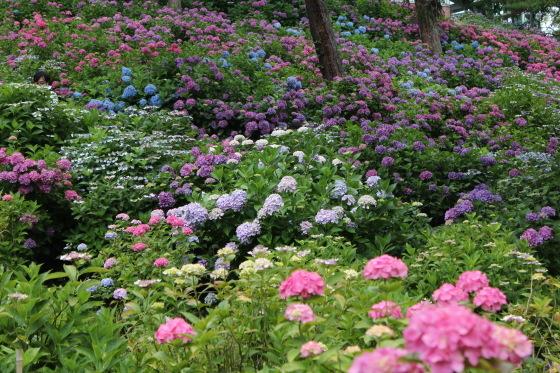 太閤山ランドの紫陽花_b0132338_16204045.jpeg