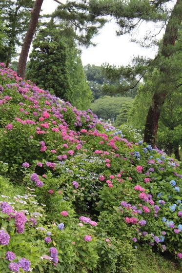 太閤山ランドの紫陽花_b0132338_16220210.jpeg