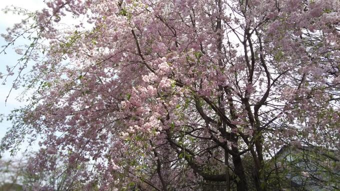 桜の季節に31周年、どうもありがとうございます!_c0054646_16585004.jpg