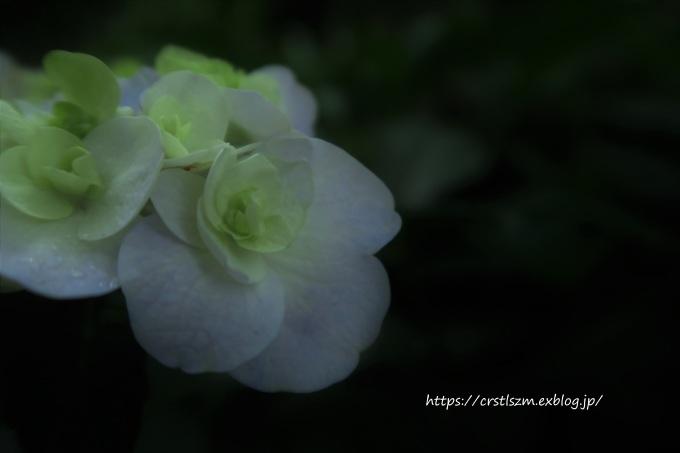 しっとり紫陽花_e0348754_12511437.jpg