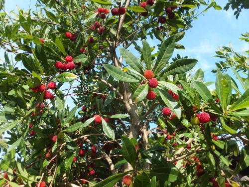 庭の赤い実~山桃_d0336460_23483022.jpg