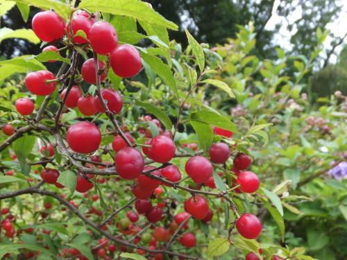 庭の赤い実~庭梅_d0336460_23525322.jpg