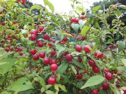 庭の赤い実~庭梅_d0336460_23543371.jpg