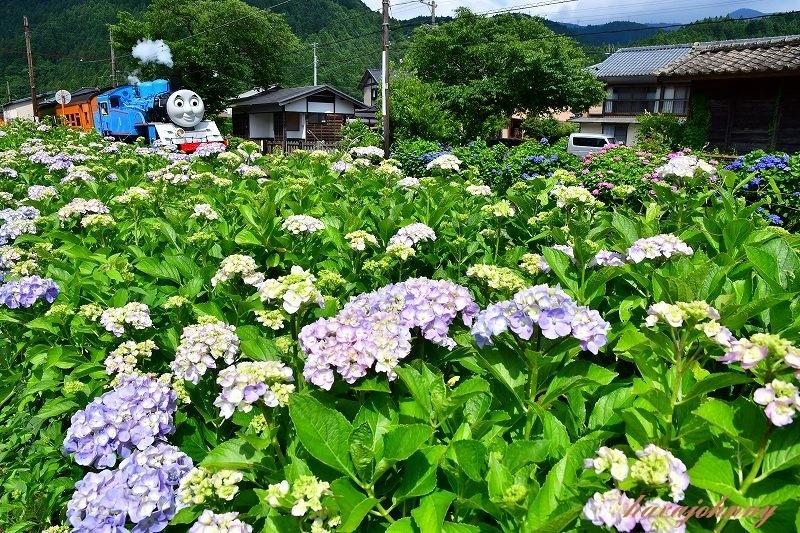 トーマスには紫陽花がお似合い_c0173762_19365187.jpg