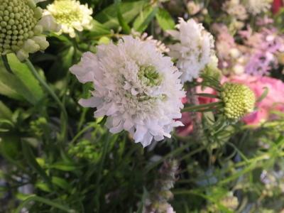 オークリーフ(ピンクのアナベル紫陽花)_f0049672_11455380.jpg