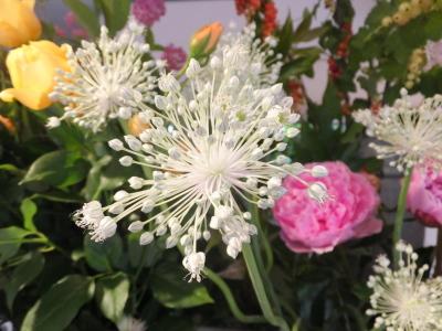 オークリーフ(ピンクのアナベル紫陽花)_f0049672_12063053.jpg