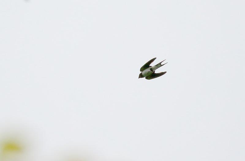 ごく身近な鳥だった、ツバメです。_f0368272_19471233.jpg