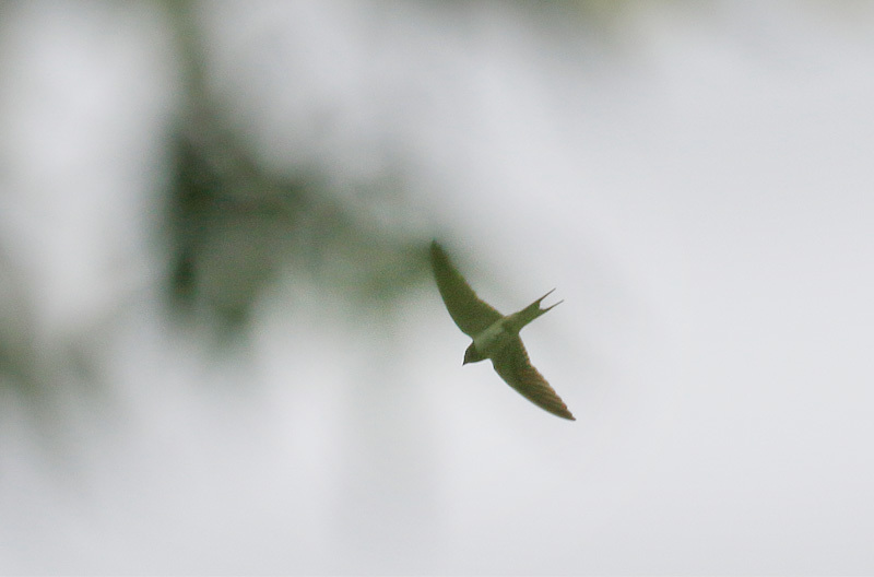 ごく身近な鳥だった、ツバメです。_f0368272_19473146.jpg