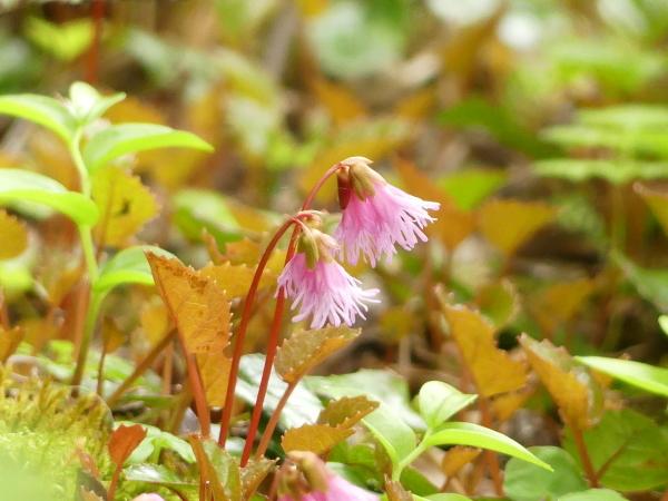 苔の森の花々_a0351368_11591998.jpg