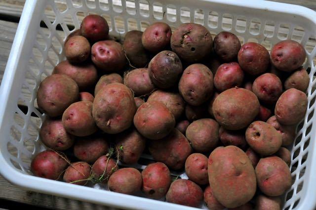 ジャガイモの収穫と種子法廃止、TPP11_f0160480_23511371.jpg
