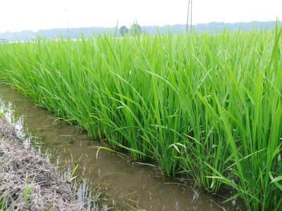 七城米 長尾農園 まもなく平成30年度の田植えです!その前に美しすぎる苗床の様子をご紹介いたします!_a0254656_17543178.jpg