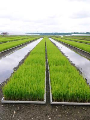 七城米 長尾農園 まもなく平成30年度の田植えです!その前に美しすぎる苗床の様子をご紹介いたします!_a0254656_18011494.jpg