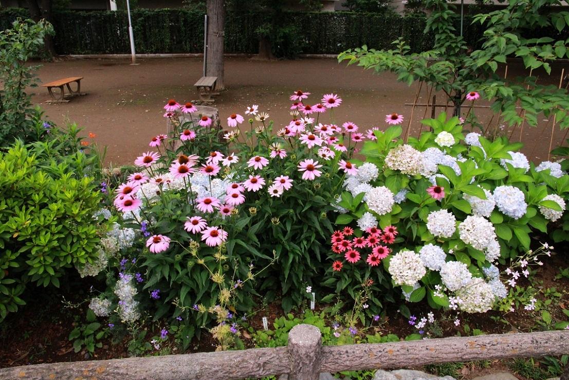 種でも増える丈夫な宿根草 ~エキナセア~_a0107574_17121766.jpg