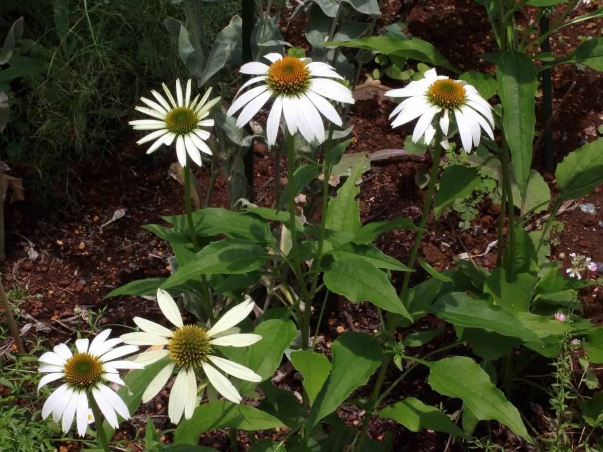 種でも増える丈夫な宿根草 ~エキナセア~_a0107574_17122489.jpg