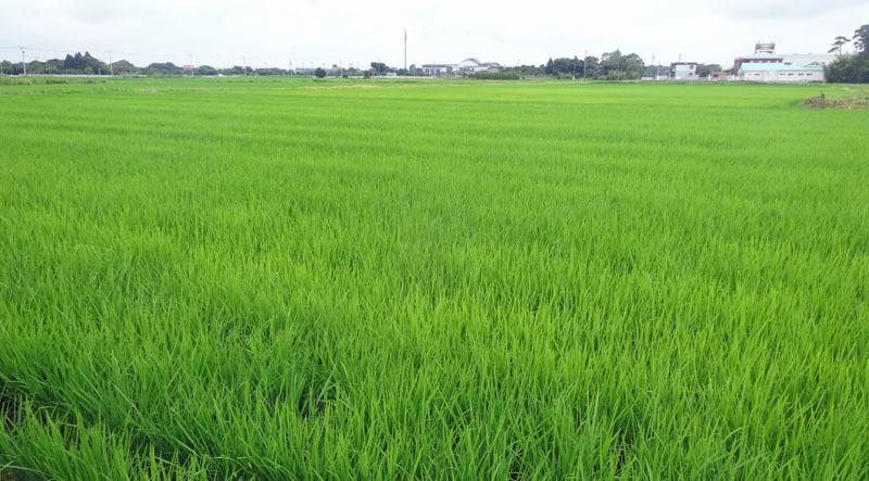 裏の田んぼは緑のじゅうたん_b0114798_16442939.jpg