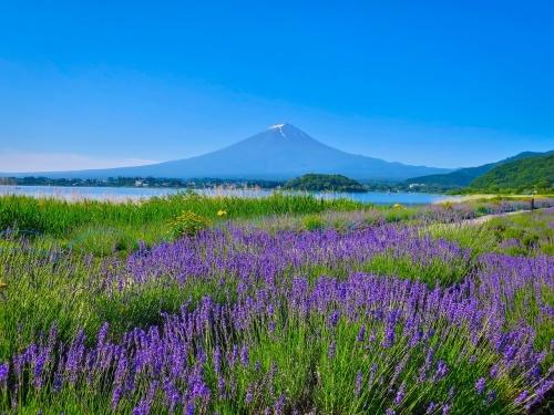 2018.6.25ラベンダー・あじさいと富士山(河口湖畔)_e0321032_16070307.jpg