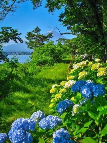 2018.6.25ラベンダー・あじさいと富士山(河口湖畔)_e0321032_16075601.jpg