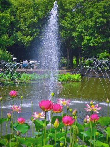2018.6.26噴水とハスの花(府中市郷土の森公園)_e0321032_20430609.jpg
