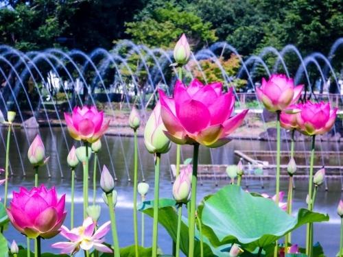 2018.6.26噴水とハスの花(府中市郷土の森公園)_e0321032_20440534.jpg