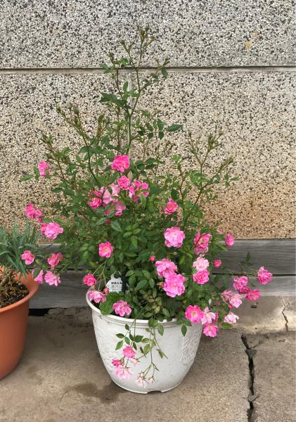 ピンクのカラーとミニバラ_d0322040_21350026.jpg