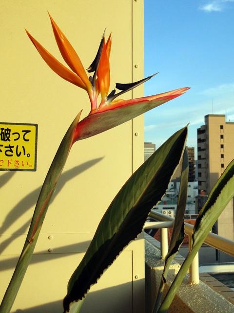 ストレリチア株分け_b0200721_15251671.jpg