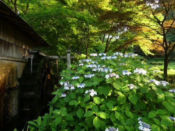 紫陽花と水車_a0351368_10154308.jpg