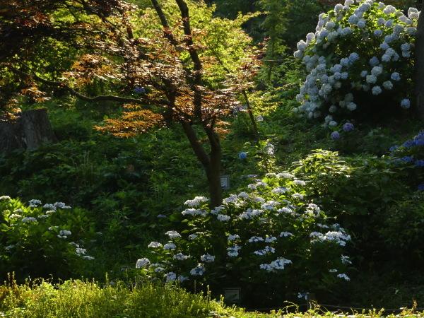 紫陽花と水車_a0351368_10155182.jpg