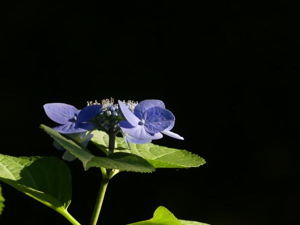 ブラックバックの紫陽花_a0351368_11403094.jpg