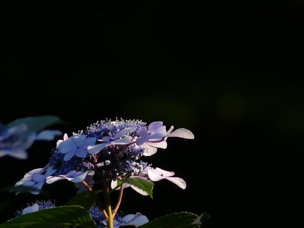 ブラックバックの紫陽花_a0351368_11412845.jpg