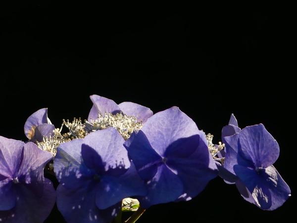 ブラックバックの紫陽花_a0351368_11413434.jpg