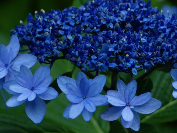 ブルーな紫陽花_a0351368_11414785.jpg