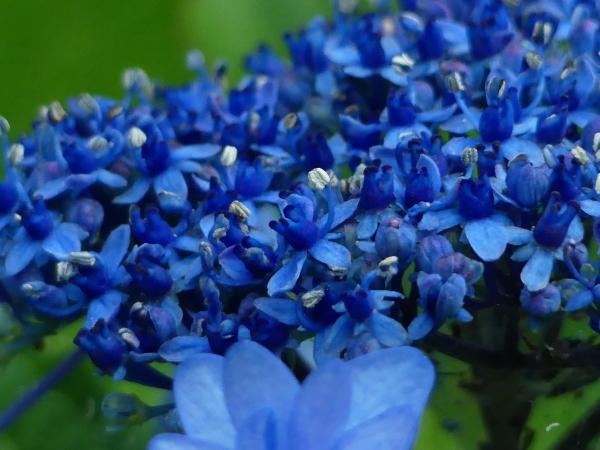 ブルーな紫陽花_a0351368_11415619.jpg