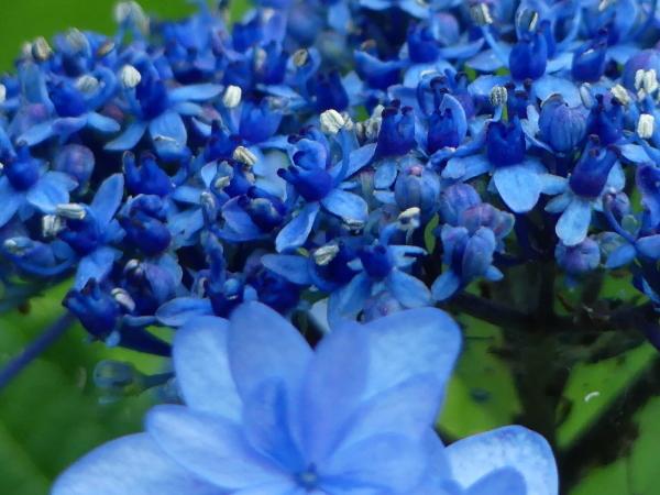 ブルーな紫陽花_a0351368_11415701.jpg