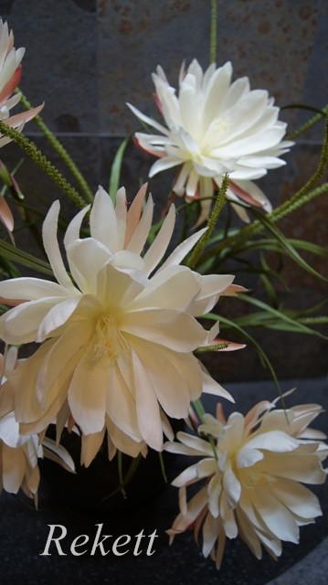 一夜限りの神秘の白い花~❤_f0029571_00373331.jpg
